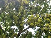 Saptaparni trees harmful for Asthma patients?